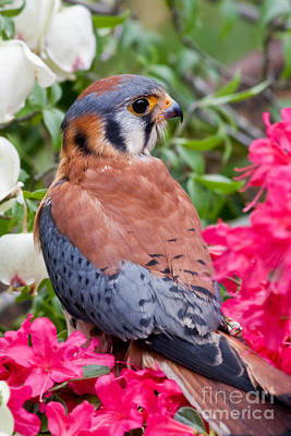 Photograph - American Kestrel In The Azaleas by Jill Lang