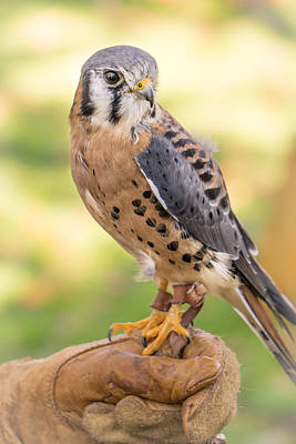 Minnesota Photograph - American Kestrel by Jim Hughes