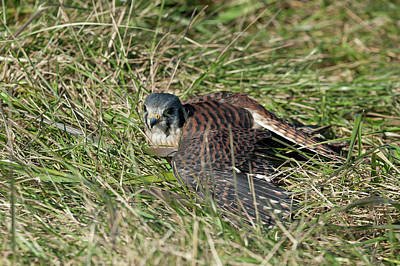 Photograph - American Kestrel Mantling To Conceal It From Other Birds And Predators  by Dan Friend