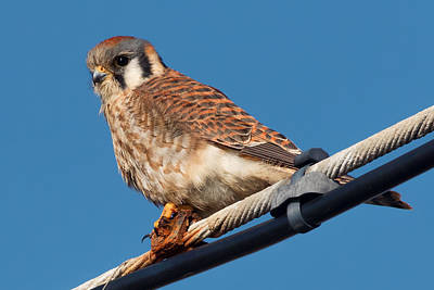 Photograph - American Kestrel On A Wire by Kathleen Bishop