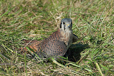 Photograph - American Kestrel On The Ground In The Grass by Dan Friend