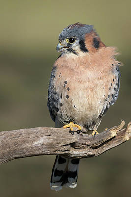 Photograph - American Kestrel Portrait - Winged Ambassadors by Dawn Currie