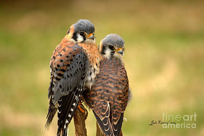 Photograph - American Kestrel Siblings by Jale Fancey