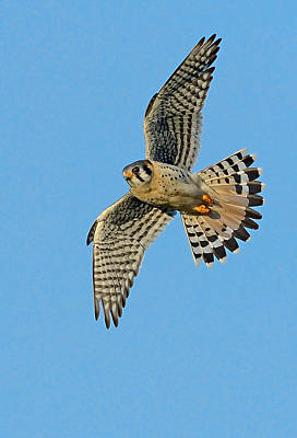 Photograph - American Kestrel  by William Jobes