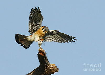 Photograph - American Kestrel With A Snack by Myrna Bradshaw