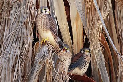 Photograph - American Kestrels by Dan Redmon