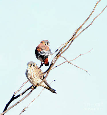 Photograph - American Kestrels by Elizabeth Winter