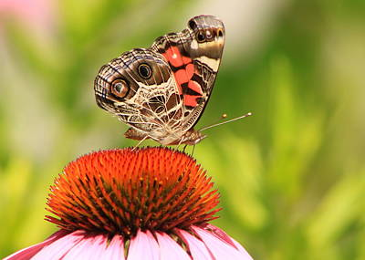 Photograph - American Lady Butterfly On Coneflower by John Burk