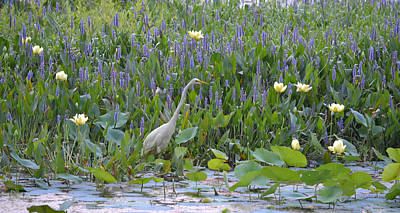 Photograph - American Lotus - Great Egret by rd Erickson