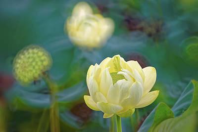 Photograph - American Lotus by Robert Charity