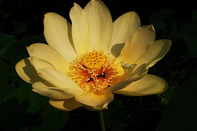 Buttonweed Photograph - American Lotus by Ron Kruger