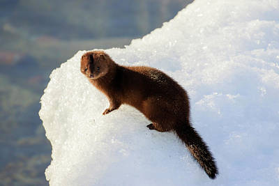 Photograph - American Mink 2 by Gary Hall