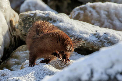 Photograph - American Mink 3 by Gary Hall