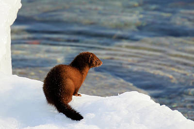Photograph - American Mink by Gary Hall