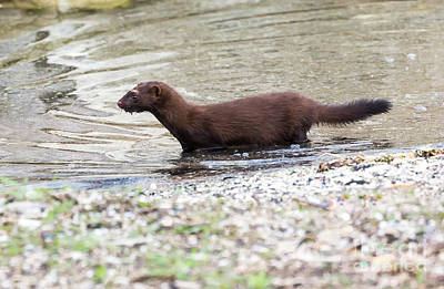 Photograph - American Mink by Ricky L Jones