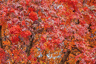 Photograph - American Mountain Ash In Autumn by Sue Smith
