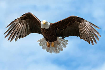 Photograph - American National Symbol Bald Eagle With Wings Spread by Open Range