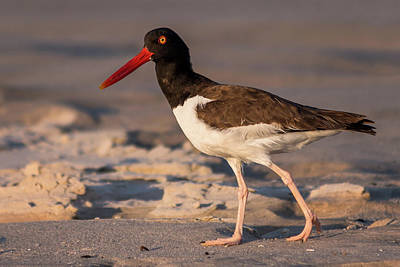 Photograph - American Oystercatcher At The Jersey Shore by Terry DeLuco
