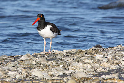 Photograph - American Oystercatcher by Captain Debbie Ritter