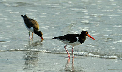 Photograph - American Oystercatchers by Dana Sohr