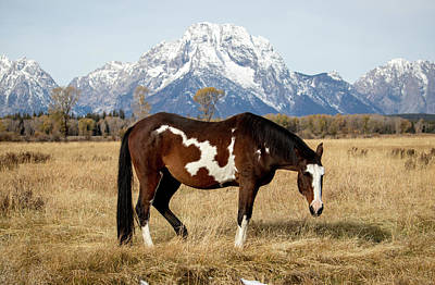 Photograph - American Paint Horse, Wyoming by Randy Straka