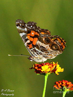 Photograph - American Painted Lady by Barbara Bowen