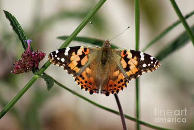 Photograph - Painted Lady Butterfly #2 2016 by Karen Adams