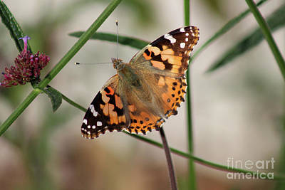 Photograph - Painted Lady Butterfly 2016 by Karen Adams