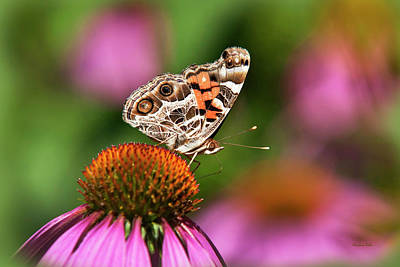 Photograph - American Painted Lady Butterfly by Christina Rollo