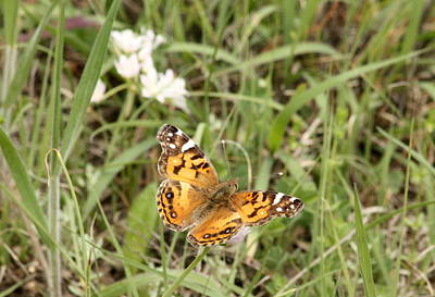 Photograph - American Painted Lady Butterfly In Field by Sheila Brown