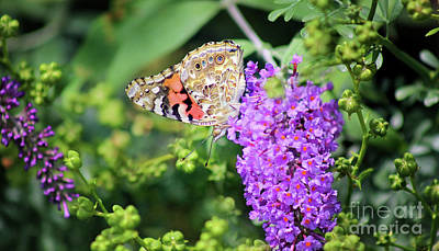 Photograph - Painted Lady Butterfly In July by Karen Adams