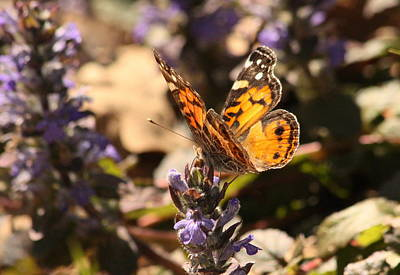 Photograph - American Painted Lady Butterfly On Ajuga by Sheila Brown