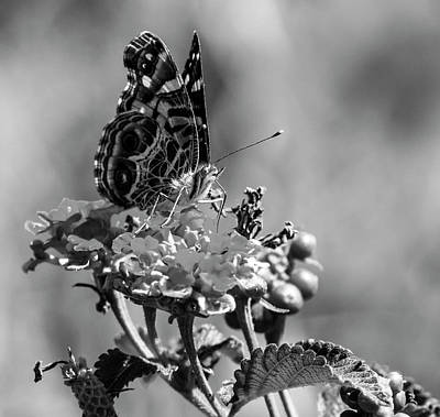 American Painted Lady Bw Art Print by Norman Johnson