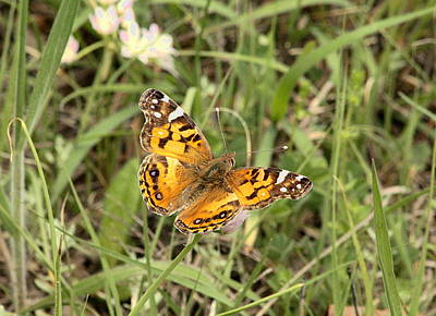 Photograph - American Painted Lady In Field by Sheila Brown