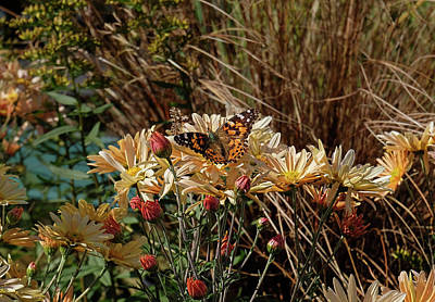 Photograph - American Painted Lady In Garden by Ronda Ryan