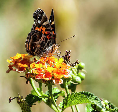 American Painted Lady Art Print by Norman Johnson