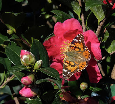 American Painted Lady On Camelia Art Print