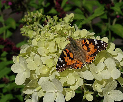 Photograph - American Painted Lady On Hydrangea by Ronda Ryan