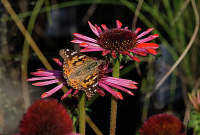 Photograph - American Painted Lady On Red Flower by Ronda Ryan