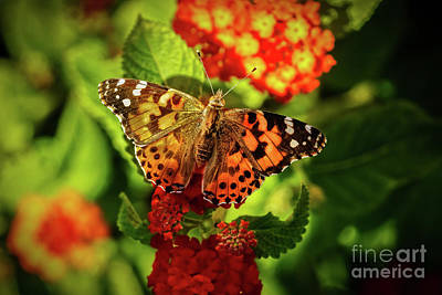Vanessa Photograph - American Painted Lady by Robert Bales