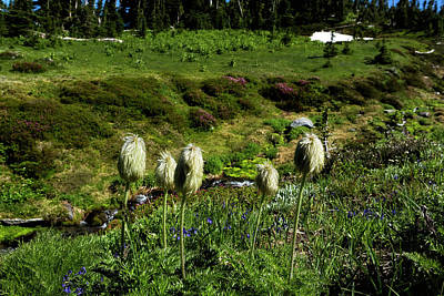 Photograph - American Pasqueflowers, No. 2 by Belinda Greb