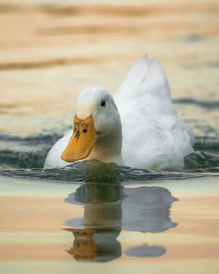 Photograph - American Pekin Duck by Adam Rainoff