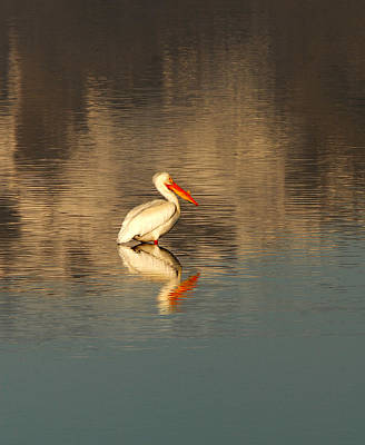 Angels And Cherubs - American Pelican Reflected by Dennis Hammer