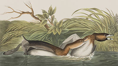 Wings Drawing - American Pied Bill Dobchick by John James Audubon