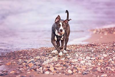 Photograph - American Pitbull Terrier by Peter Lakomy