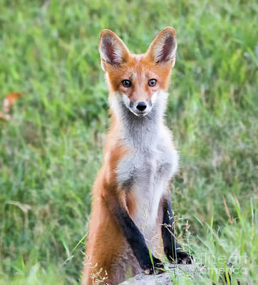 Photograph - American Red Fox Looking At You by Ricky L Jones