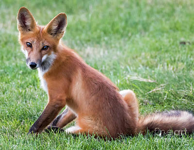 Photograph - American Red Fox  by Ricky L Jones