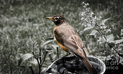 Photograph - American Red Robin by Deborah Klubertanz