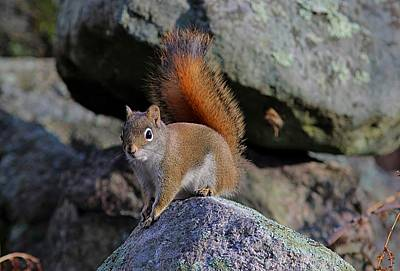 Pause Photograph - American Red Squirrel by Linda Crockett