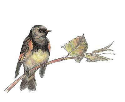 American Redstart Art Print by Abby McBride
